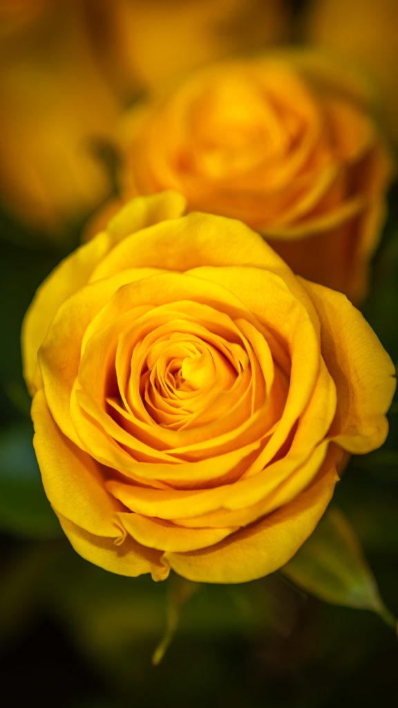 Ferrari Fleurs 1975 rose jaune
